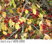 Купить «Осенние листья и ягоды», фото № 499089, снято 29 января 2020 г. (c) ElenArt / Фотобанк Лори