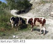 Купить «Пёстрые коровы», фото № 501413, снято 3 сентября 2006 г. (c) Александр Башкатов / Фотобанк Лори
