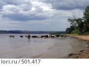 Купить «Стадо коров купается в Волге», фото № 501417, снято 23 июля 2006 г. (c) Александр Башкатов / Фотобанк Лори