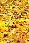 Кленовые листья, фото № 501553, снято 26 апреля 2017 г. (c) Роман Сигаев / Фотобанк Лори