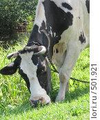 Купить «Портрет коровы», фото № 501921, снято 22 августа 2008 г. (c) Иван / Фотобанк Лори