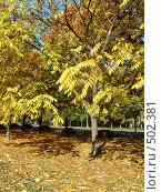 Дерево манчжурского ореха осенью. Стоковое фото, фотограф Римма Радшун / Фотобанк Лори