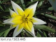 Купить «Дикий тюльпан», фото № 503445, снято 20 апреля 2007 г. (c) Тарасова Татьяна / Фотобанк Лори