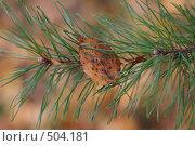 Купить «Сухой лист на ветке сосны», фото № 504181, снято 5 октября 2008 г. (c) Лошкарев Антон / Фотобанк Лори