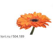 Купить «Оранжевая гербера с каплями на лепестках», фото № 504189, снято 11 октября 2008 г. (c) Лошкарев Антон / Фотобанк Лори