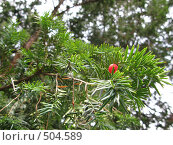 Ягода на дереве. Тис ягодный. Стоковое фото, фотограф Николаенкова Светлана / Фотобанк Лори
