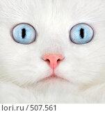 Купить «Портрет белого котенка», фото № 507561, снято 3 сентября 2008 г. (c) Андрей Армягов / Фотобанк Лори