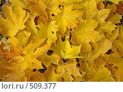 Купить «Кленовые листья осенью», фото № 509377, снято 30 сентября 2008 г. (c) Зябрикова Надежда / Фотобанк Лори