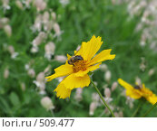 Пчелка на цветке. Стоковое фото, фотограф Николаенкова Светлана / Фотобанк Лори