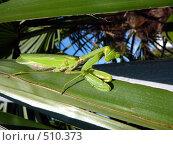 Богомол на листе пальмы. Стоковое фото, фотограф Дживита / Фотобанк Лори