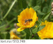 Календула, пчелка собирает нектар, фото № 513749, снято 22 августа 2004 г. (c) Сергей Бехтерев / Фотобанк Лори