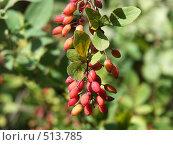 Купить «Барбарис обыкновенный, грозди ягод», фото № 513785, снято 27 августа 2004 г. (c) Сергей Бехтерев / Фотобанк Лори