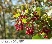 Купить «Барбарис обыкновенный, грозди ягод», фото № 513801, снято 15 сентября 2004 г. (c) Сергей Бехтерев / Фотобанк Лори