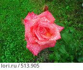 Капли дождя на лепестках розы. Стоковое фото, фотограф Александр Новиков / Фотобанк Лори