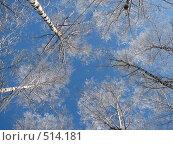 Купить «Верхушки зимних берёз», фото № 514181, снято 17 февраля 2007 г. (c) Yevgeniy Zateychuk / Фотобанк Лори