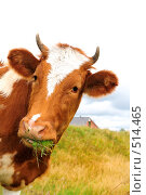Купить «Корова,  жующая траву в поле», фото № 514465, снято 19 августа 2008 г. (c) Стучалова Наталия / Фотобанк Лори