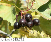 Купить «Боярышник, плоды», фото № 515713, снято 15 сентября 2004 г. (c) Сергей Бехтерев / Фотобанк Лори