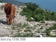 Купить «Рыжая корова щиплет траву на каменистой смотровой площадке с видом на море», фото № 516109, снято 10 августа 2008 г. (c) Татьяна Нафикова / Фотобанк Лори