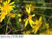 Черный шмель на желтом цветке. Стоковое фото, фотограф Александр Рыбий / Фотобанк Лори