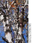 Купить «Ветви березы на фоне неба», фото № 518741, снято 6 октября 2008 г. (c) Стучалова Наталия / Фотобанк Лори