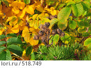 Купить «Репейник на фоне шиповника», фото № 518749, снято 6 октября 2008 г. (c) Стучалова Наталия / Фотобанк Лори