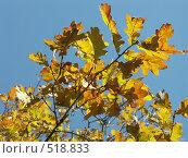 Купить «Дуб черешчатый, желтые листья на фоне голубого неба», фото № 518833, снято 19 октября 2004 г. (c) Сергей Бехтерев / Фотобанк Лори