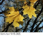 Купить «Клен остролистный, золотая осень», фото № 519365, снято 19 октября 2004 г. (c) Сергей Бехтерев / Фотобанк Лори