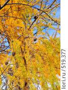 Купить «Лиственница с шишками», фото № 519377, снято 6 октября 2008 г. (c) Стучалова Наталия / Фотобанк Лори