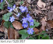 Купить «Лесные подснежники», фото № 520957, снято 12 апреля 2008 г. (c) Алла Виноградова / Фотобанк Лори