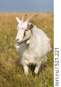 Купить «Задумчивая коза», фото № 521221, снято 21 сентября 2008 г. (c) Алексей Крылов / Фотобанк Лори