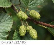 Купить «Ольха серая, семена», фото № 522185, снято 18 августа 2004 г. (c) Сергей Бехтерев / Фотобанк Лори