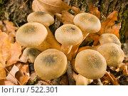 Купить «Грибы опята осенние настоящие.Опёнок осенний.Трихоломовые или рядовковые. Armillaria mellea. L.», фото № 522301, снято 23 октября 2008 г. (c) Федор Королевский / Фотобанк Лори