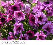 Купить «Сиреневые цветы», фото № 522505, снято 23 августа 2008 г. (c) Глеб Тропин / Фотобанк Лори