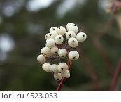 Купить «Свидина белая (Дерен белый), плоды», фото № 523053, снято 4 ноября 2004 г. (c) Сергей Бехтерев / Фотобанк Лори