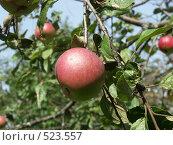 Купить «Яблоня домашняя, яблоки», фото № 523557, снято 22 августа 2004 г. (c) Сергей Бехтерев / Фотобанк Лори
