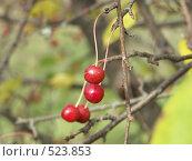 Купить «Яблоня ягодная, ранетки», фото № 523853, снято 1 октября 2004 г. (c) Сергей Бехтерев / Фотобанк Лори