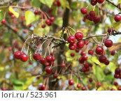 Купить «Яблоня ягодная, ранетки», фото № 523961, снято 1 октября 2004 г. (c) Сергей Бехтерев / Фотобанк Лори