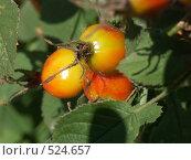 Купить «Роза, плоды шиповника», фото № 524657, снято 23 августа 2004 г. (c) Сергей Бехтерев / Фотобанк Лори