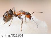 Купить «Рыжий древесный муравей», фото № 526901, снято 3 сентября 2008 г. (c) Иванов Аркадий Николаевич / Фотобанк Лори