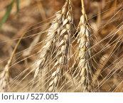 Купить «Пшеница в поле», фото № 527005, снято 7 августа 2004 г. (c) Сергей Бехтерев / Фотобанк Лори