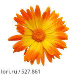 Купить «Цветок календулы на белом фоне», фото № 527861, снято 26 октября 2008 г. (c) Игорь Качан / Фотобанк Лори