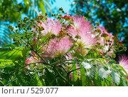 Купить «Цветы ленкоранской акации (Albizzia julibrissin)», фото № 529077, снято 29 июня 2008 г. (c) Павел Вахрушев / Фотобанк Лори