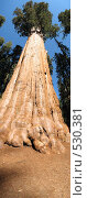 Купить «Дерево Секвойя», фото № 530381, снято 25 февраля 2020 г. (c) Yevgeniy Zateychuk / Фотобанк Лори
