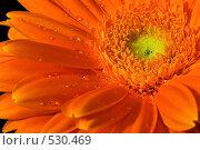 Оранжевая гербера. Стоковое фото, фотограф Вячеслав Зитев / Фотобанк Лори