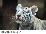 Купить «Белый тигр», фото № 533317, снято 26 июня 2008 г. (c) Ксения Крылова / Фотобанк Лори