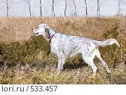 Купить «Английский сеттер-охотничья собака», фото № 533457, снято 26 октября 2008 г. (c) Баевский Дмитрий / Фотобанк Лори