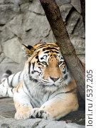 Тигр. Стоковое фото, фотограф Алексей Хабазов / Фотобанк Лори