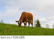 Купить «Корова на лугу», фото № 539685, снято 16 мая 2008 г. (c) podfoto / Фотобанк Лори