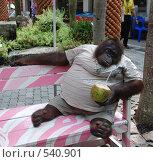 Грустный орангутан, одетый в футболку и шорты, сидит на скамейке с коктейлем из кокоса в лапе. Таиланд (2008 год). Редакционное фото, фотограф E. O. / Фотобанк Лори