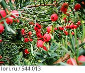 Купить «Тис ягодный», фото № 544013, снято 9 октября 2005 г. (c) Вадим Кондратенков / Фотобанк Лори